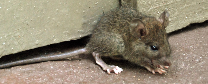 Dolphin Pub Closed Due to Rodent Infestation