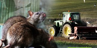 Mixed outlook for practical rat control from farmers