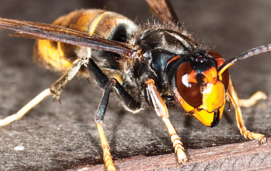 ASIAN HORNET IDENTIFIED IN CORNWALL