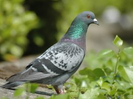Revoked General licences for bird control: next steps to apply online