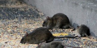 Free tests and new guide tackle spread of resistant rats