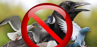 General licences for bird control