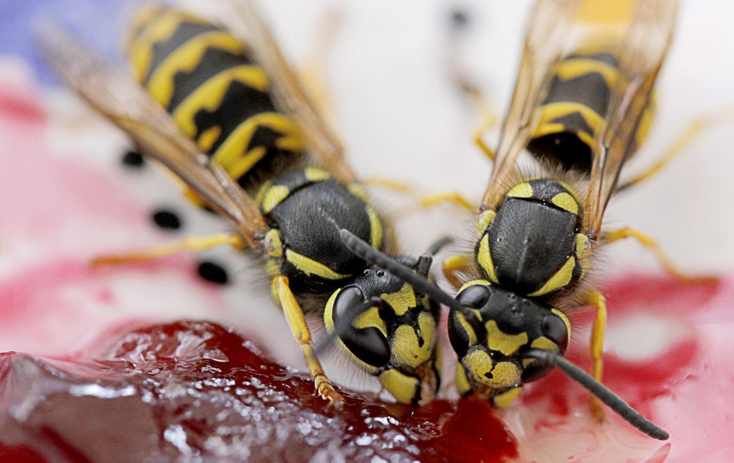 Watch out for wasps